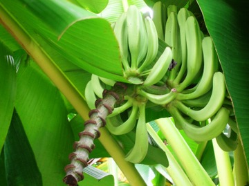 Dscn6978_banana2