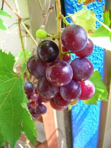 006_grape