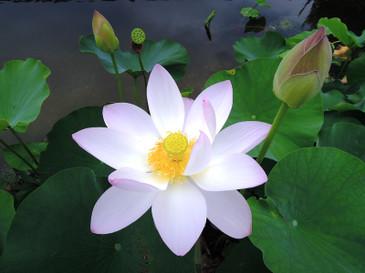 Dscn8467_lotus_resize_2