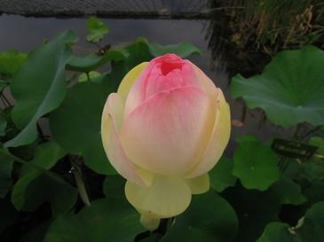 Dscn8469_lotus